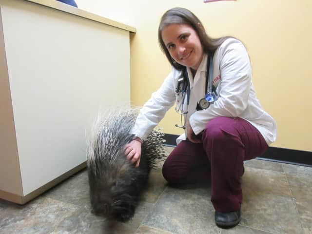 Alissa Fairlie with a porcupine she recently treated.