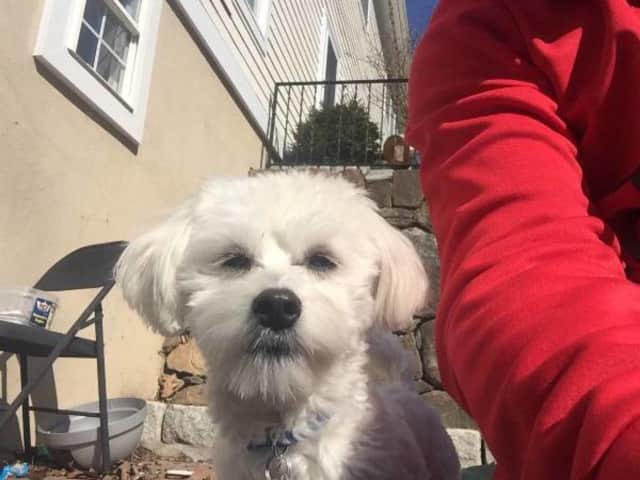 The Croton owner of Thomas, a Maltese, is looking for him.