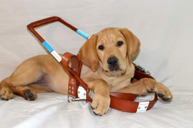 The Guiding Eyes Puppy Raising Program provides the rewarding opportunity to raise a future guide dog puppy.