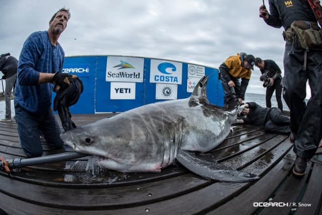"""Cabot,"" the great white shark being fitted with a tracker."