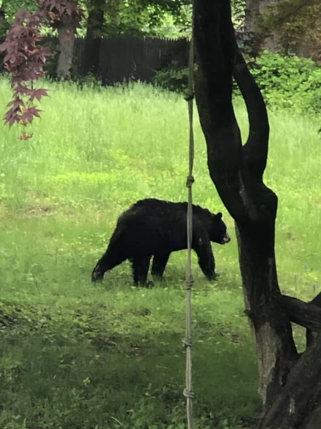 Young black bear spotted in Norwalk.