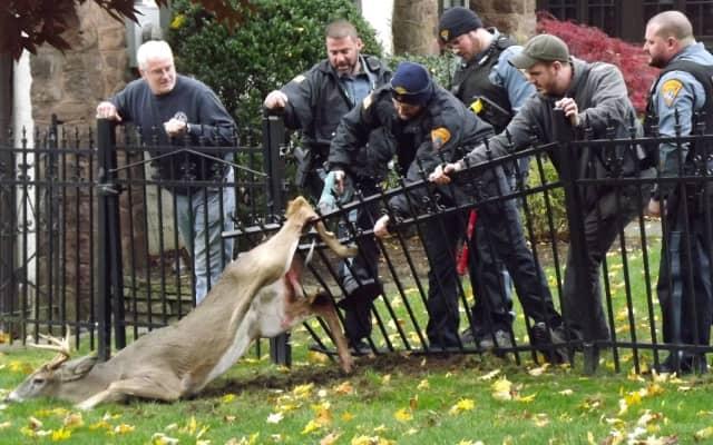 Ridgewood rescuers at work saving impaled buck.
