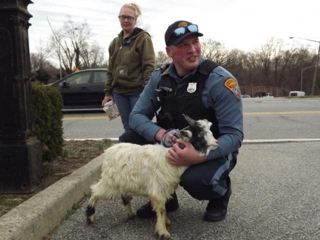 Officer Jack Knudsen with the abandoned goat.