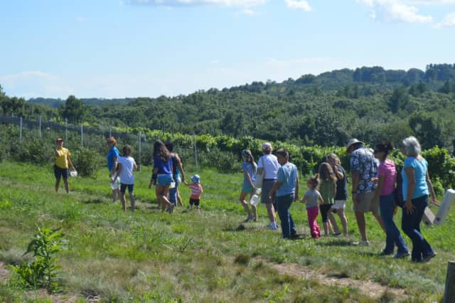 Blueberry lovers take to the fields at Jones Family Farms in Shelton.