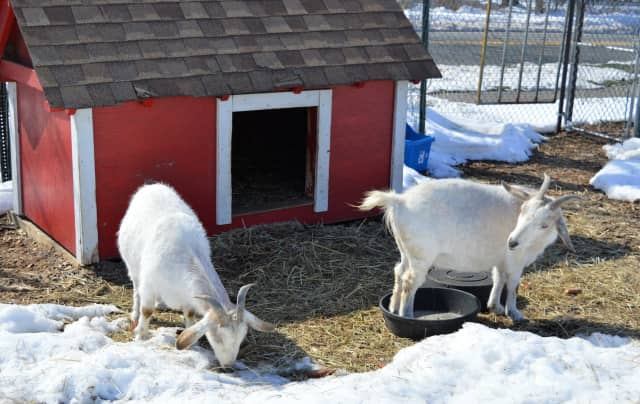 Wilma and Mildred, sister goats, on the first day of spring at Rohsler's Allendale Nursery Monday.