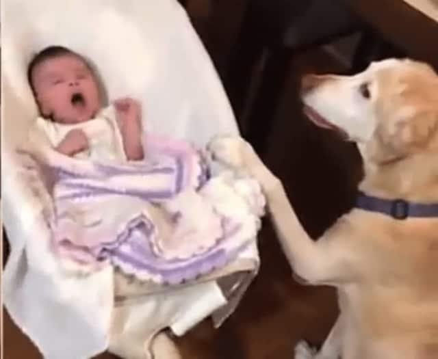 A Wayne dog has been trained to rock a baby's bassinet.