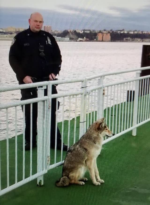 NYPD officers were able to safely and successfully subdue a coyote.