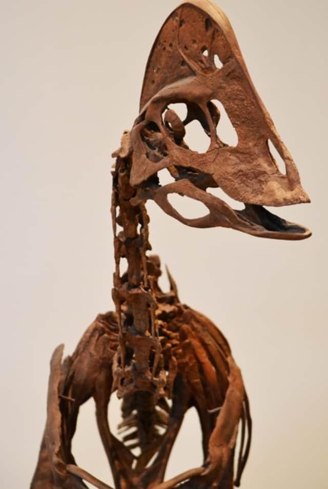 Skeleton of an Elmisaur