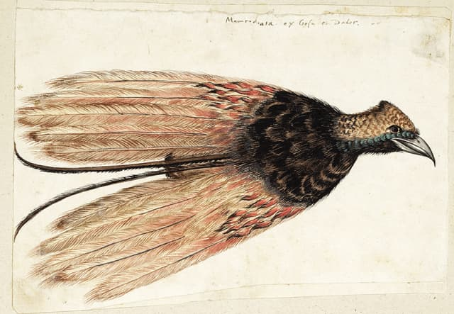 Unidentified French or Swiss artist. Greater Bird-of-Paradise (Paradisaea apoda) skin, ca. 1550; watercolor, black ink, and gouache, with touches of white lead pigment on ivory paper, laid on paper, formerly laid on an album page; gift of Nathaniel H. Bishop, 1889.10.2.55. Image courtesy New-York Historical Society.