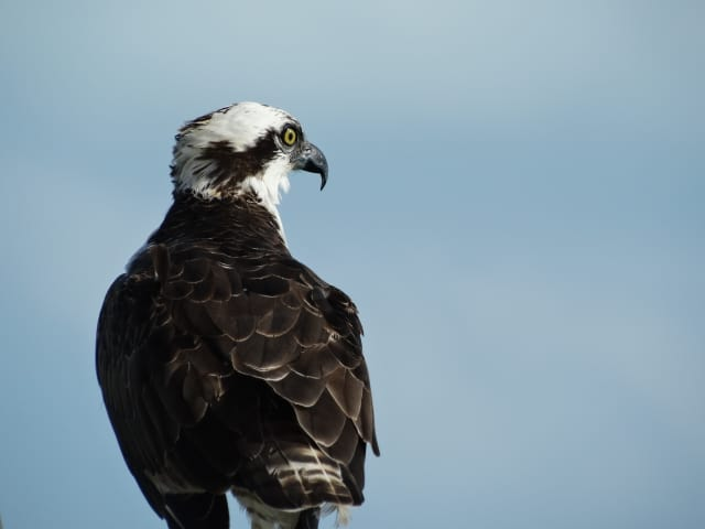 Ospreys are a common sight in summer.