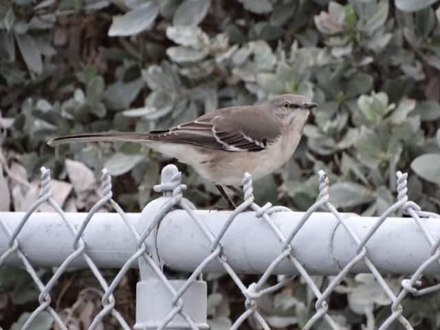 Northern Mockingbirds are content to sing throughout the night.