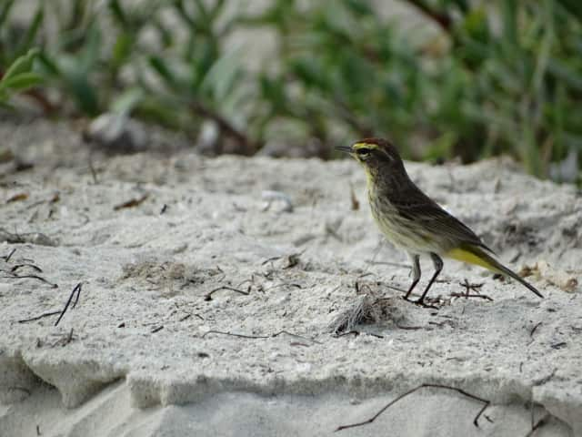 Migrating birds can be found in odd places, like this Palm Warbler foraging on the beach.