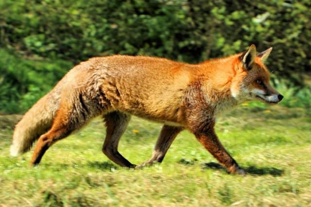 A red fox. A fox bit multiple people in Glen Ridge last week.