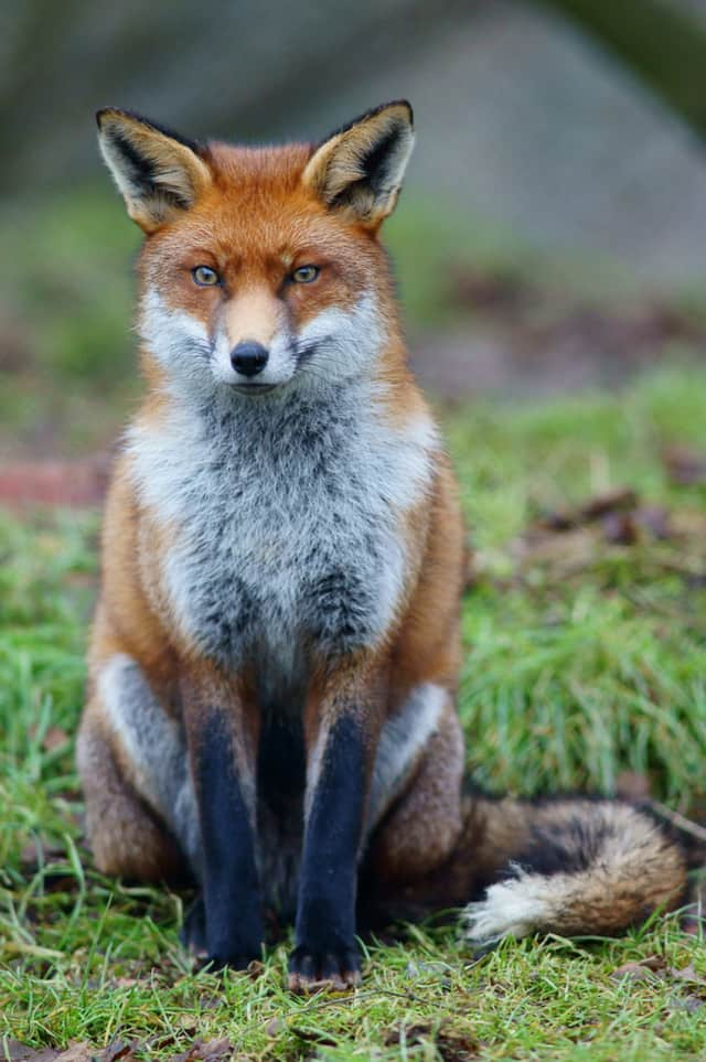 A den of foxes living under a portable classroom at Veterans Park School have moved from the area.