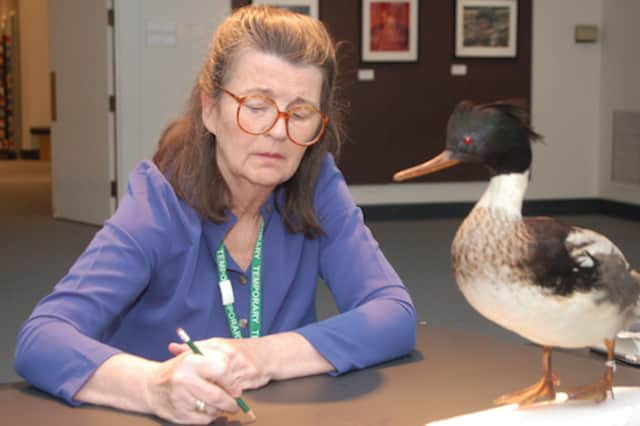 Francesca Anderson draws a mounted specimen of a red-breasted merganser from the Bruce Museum collection.