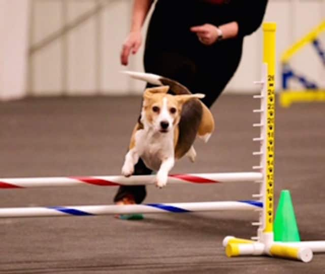 Jodi Kellar's Beagle Maggie Moo competed at the Westminster Dog Show.
