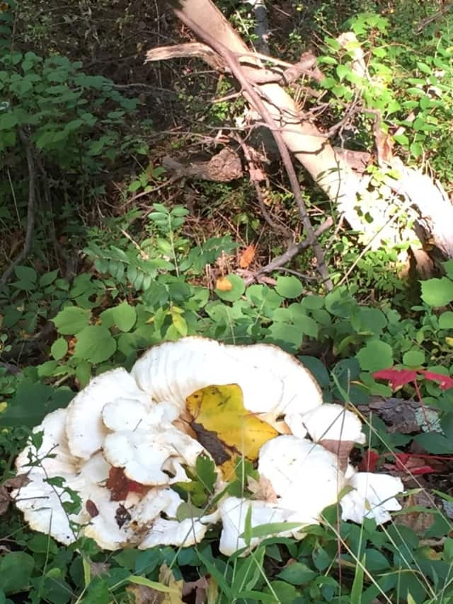 Carole Bloom Stevens recently came across this giant mushroom.