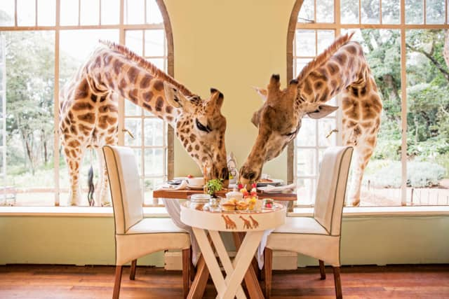 Neck and neck in the race for breakfast at Giraffe Manor in Nairobi, Kenya. Courtesy The Safari Collection.