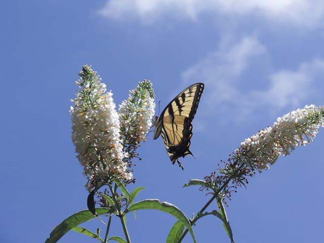 A Swallowtail butterfly at Greenwich Audubon. Courtesy Greenwich Audubon.