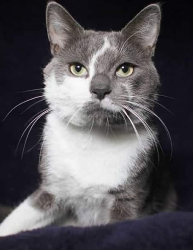 """Thomas, a 1-year-old male, is sweet and """"talkative"""" according to the folks at the Hi Tor Animal Care Center in Pomona."""