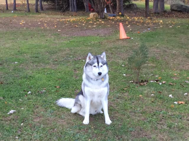 Neve, a 4-year-old Siberian husky that was injured on Thanksgiving Day when he stepped into a spring-loaded animal trap at the Locust Grove Estate in the Town of Poughkeepsie. His owner, Irene Monck, said Neve is