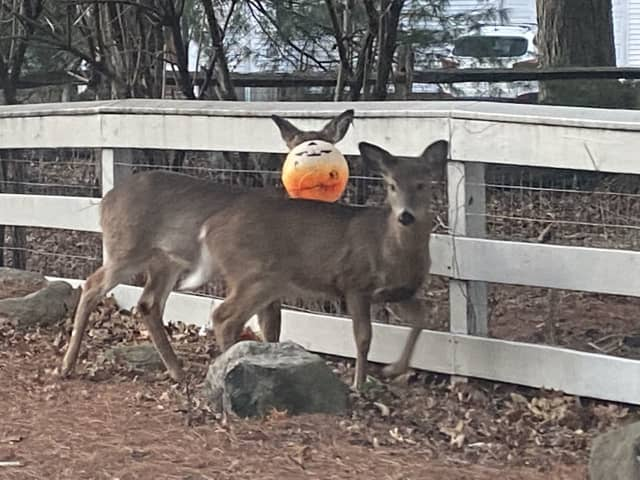 The crippled deer stands behind another in Upper Saddle River.