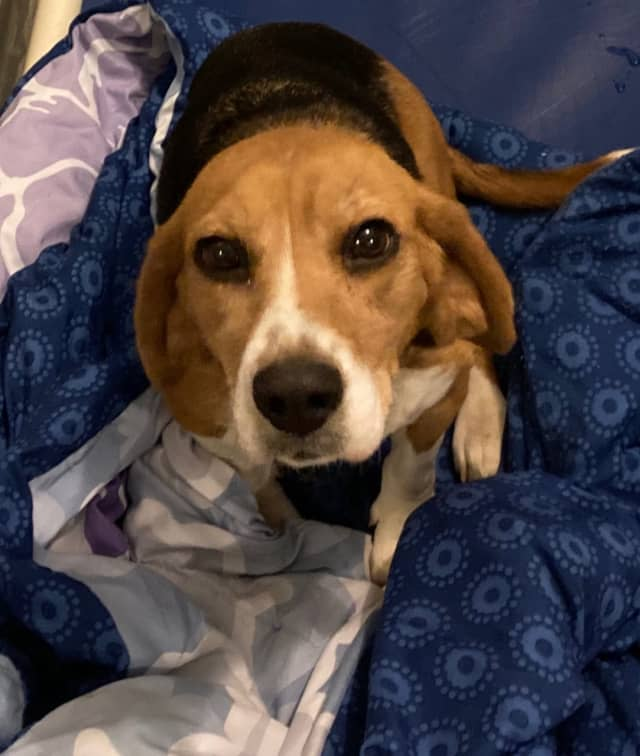 A driver pushed this older Beagle dog out of a vehicle and fled.