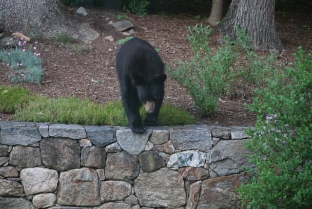 A black bear spotted in a Bedford, N.Y. yard in June.