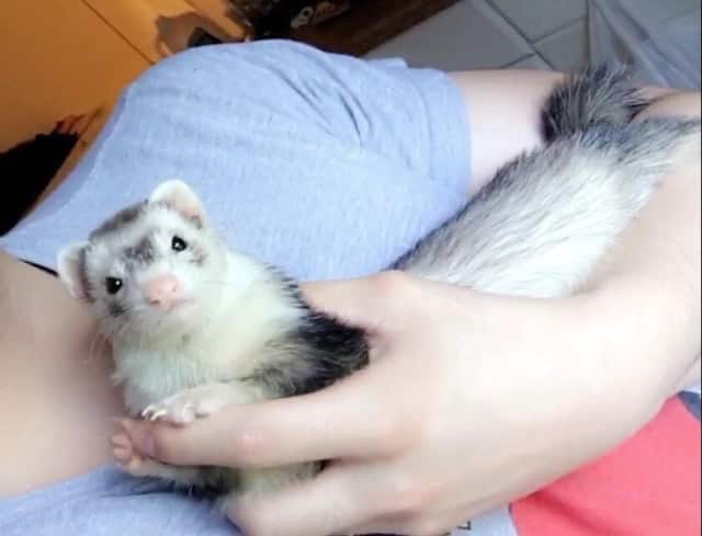Pepper the ferret is missing from his Fort Lee home.