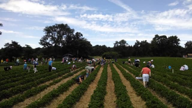 It's prime time for pick-your-own strawberries at Jones Family Farms in Shelton.