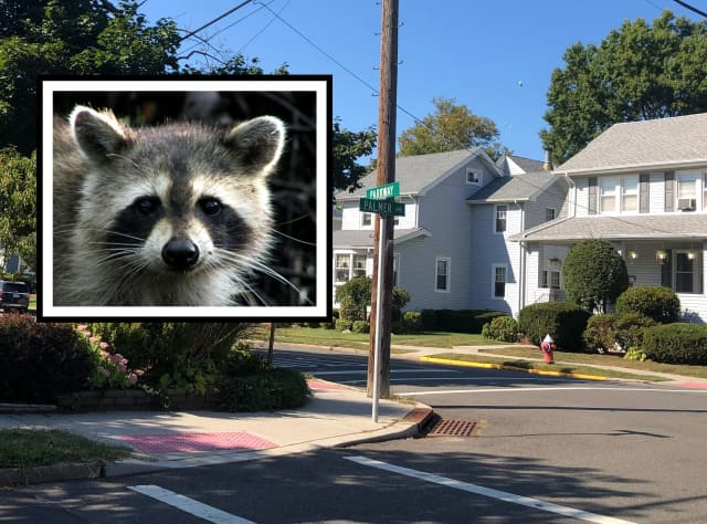 The raccoon attacks occurred at the intersection of Parkway and Pleasant Avenue in Maywood.