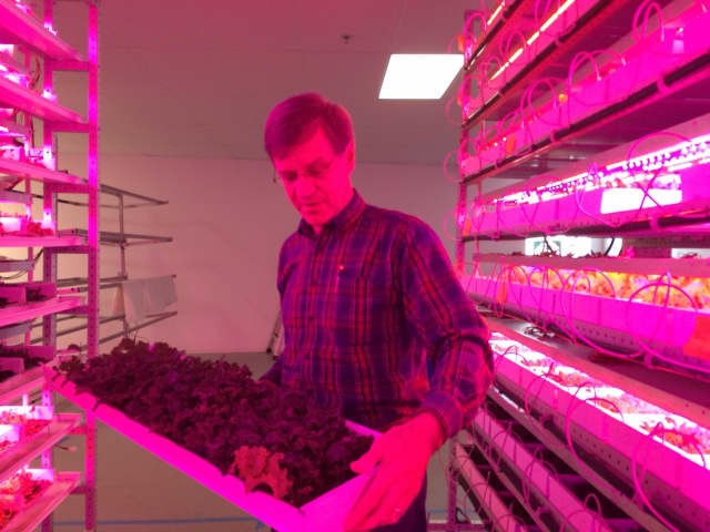 Steve Domyan inspects some of the tender greens growing in an old factory building at Metrocrops in Bridgeport.