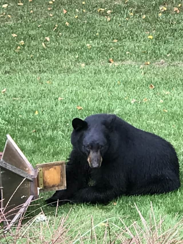 This huge black bear made a mess of things at a home in Pound Ridge earlier this month.