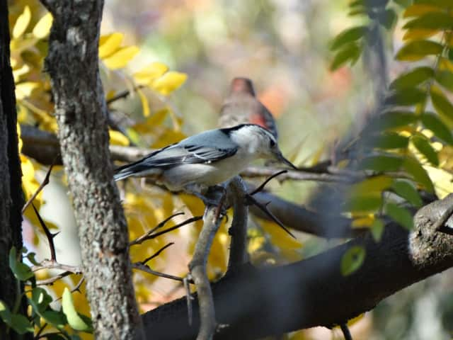 White-breasted Nuthatches are a common occurrence on Christmas Bird Count lists.