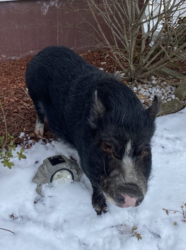 The owners of a pig found wandering the streets in Nanuet have been found.