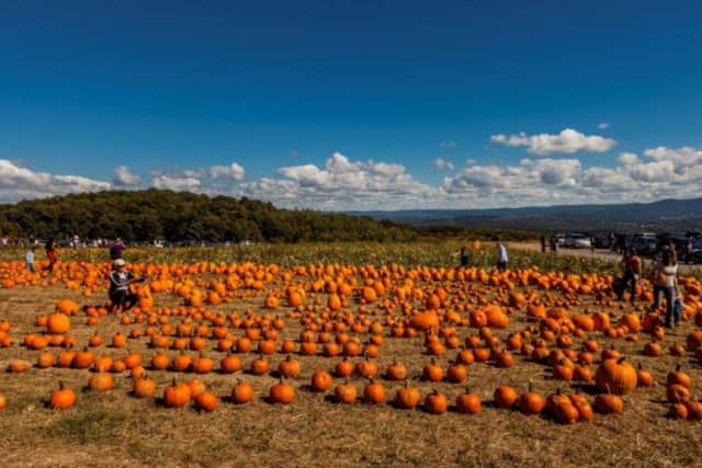 Pumpkin field at Lawrence Farms Orchard in Newburgh.