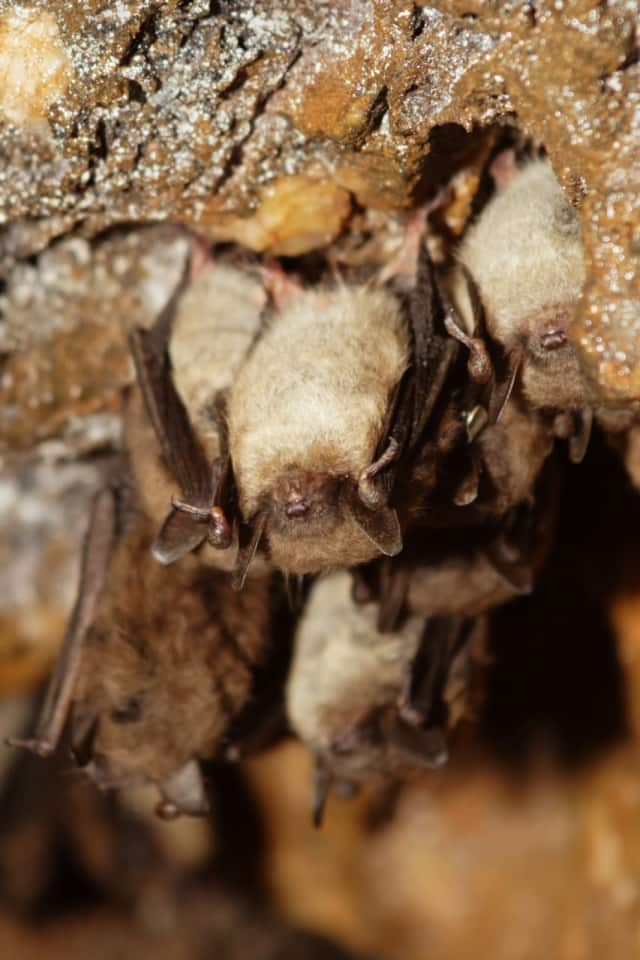 Several species of bats that call Connecticut home have been devastated by white-nose syndrome, so much so that in 2015 three species were listed as endangered on Connecticut's List of Endangered, Threatened and Special Concern Species.