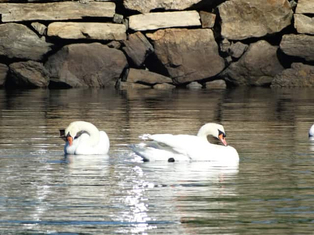 Two Mute Swans swimming in Long Island Sound.