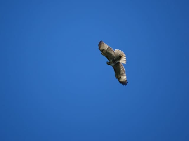 Many hawks are migrating through the tristate area this time of year.
