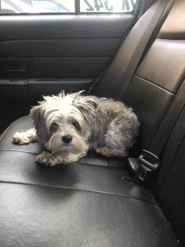This little doggie was found Tuesday wandering around Adams Hill Road in Lewisboro.