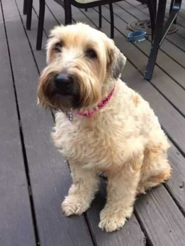 Maggie, a short-coated Wheaten Terrier, is missing from her home in Yonkers. She was last seen on Mountaindale Road, near Tuckahoe, say her heartbroken owners.