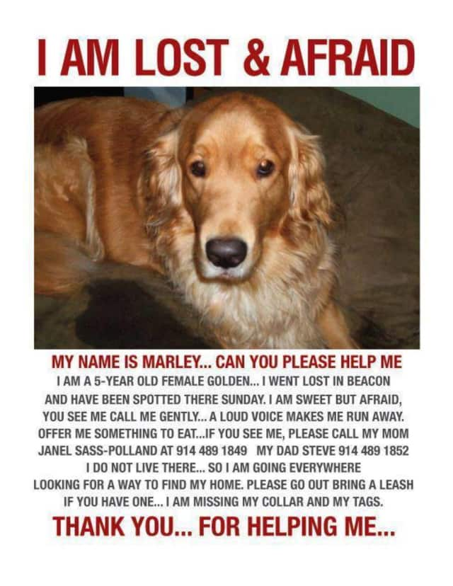 Marley, a 5-year-old female golden retriever, has been missing since 2012, but her owners are not giving up hope of finding her. The pooch got loose while at a groomer's in Beacon.