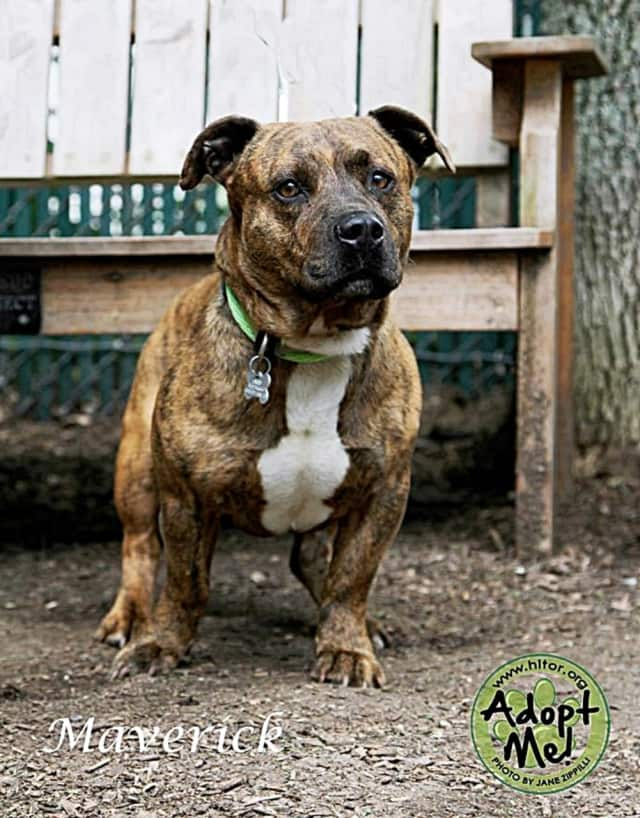 """Maverick -- who folks at the shelter call a """"little meatball"""" -- is looking for his """"furever"""" home."""