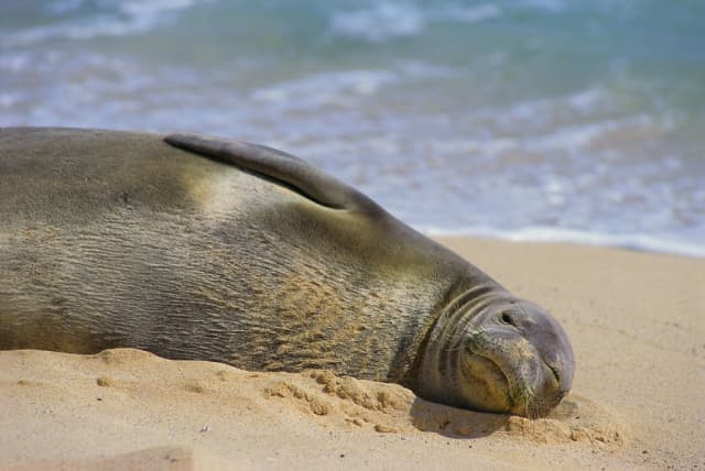 Monk Seal on Kauai beach. Courtesy Kauai Tourist Board.