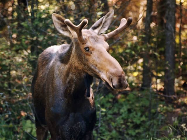 DEEP officials are warning residents to be on the lookout for moose as the season arrives for them to be out in public areas and roadways.