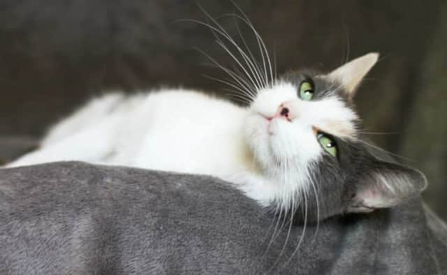 Nina, a sweet gray and white female, is Pet of the Week at the Hi-Tor Animal Care Center in Pomona.