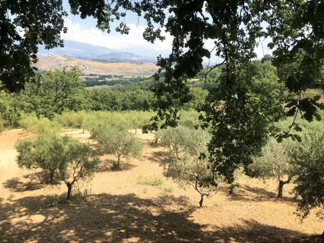 The olive trees of Val Morano Sagliocco family's Calabrian estate. The trees remain unaffected by the recent bacterium and erratic weather that have plagued olive trees in other parts of Italy. Courtesy Val Morano Sagliocco.