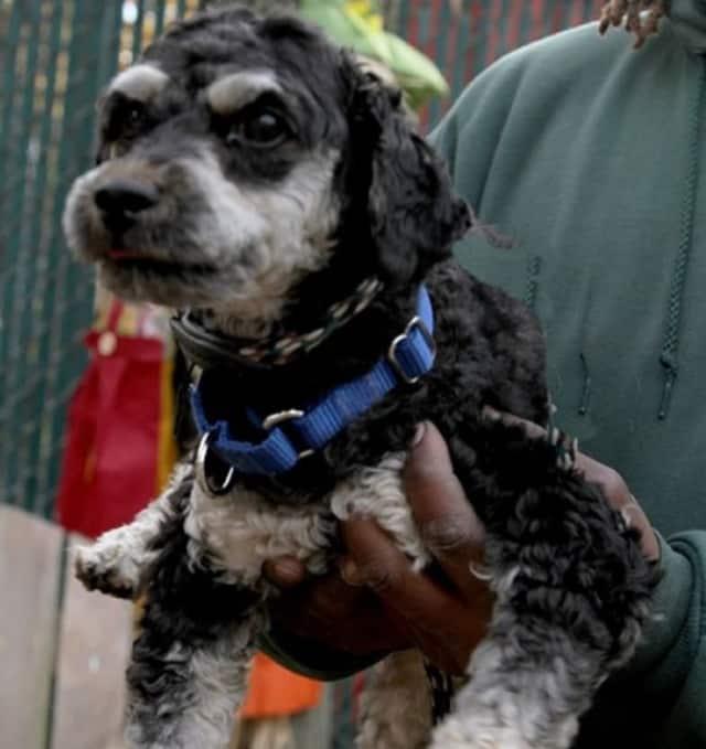 Little Otis is a poodle-terrier mix.