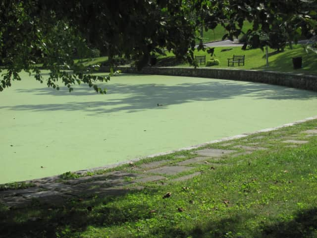 Crane's Pond is covered in algae.