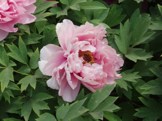 Peonies are among the most popular of flowers and a favorite of Wag alumna Ronni Diamondstein, who took this photograph.